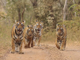 Royal Bengal Tigers On The Track, Ranthambhor National Park, India Photographic Print by Jagdeep Rajput