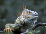 Green Iguana, San Carlos River, Muelle San Carlos, Costa Rica Photographic Print by Paul Souders