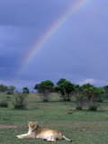 Lioness Resting Under Rainbow, Masai Mara Game Reserve, Kenya Photographic Print by Paul Souders