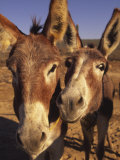 Burros, Cabo San Lucas, Baja California, Mexico Photographic Print by Douglas Peebles