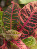 Tropical Foliage, Kauai, Hawaii, USA Photographic Print by Savanah Stewart