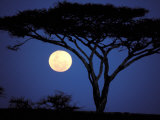 Acacia Tree in Moonlight, Tarangire, Tanzania Photographic Print by Marilyn Parver