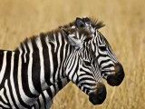 Zebras Herding in The Fields, Maasai Mara, Kenya Fotografisk trykk av Joe Restuccia III