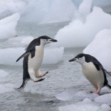 Chinstrap Penguins on ice, South Orkney Islands, Antarctica Photographic Print by Keren Su