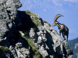 Alpine Ibex,Niederhorn, Interlaken, Switzerland Photographic Print by Rolf Nussbaumer
