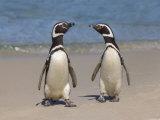 Megellanic Penguin on the beach, Falkland Islands Photographic Print by Keren Su