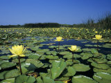 Yellow Waterlily, Welder Wildlife Refuge, Sinton, Texas, USA Photographic Print by Rolf Nussbaumer