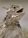 Texas Horned Lizard, Rio Grande Valley, Texas, USA Photographic Print by Rolf Nussbaumer