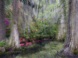Azaleas and Cypress Trees in Magnolia Gardens, South Carolina, USA Fotografie-Druck von Nancy Rotenberg