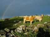 Cows and Rock Wall, Ireland Photographic Print by Marilyn Parver