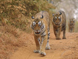 Royal Bengal Tigers Along the Track, Ranthambhor National Park, India Photographic Print by Jagdeep Rajput