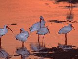 White Ibis, Ding Darling National Wildlife Refuge, Sanibel Island, Florida, USA Photographic Print by Charles Sleicher