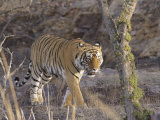 Royal Bengal Tiger On The Move, Ranthambhor National Park, India Photographic Print by Jagdeep Rajput