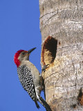 Red-Bellied Woodpecker, Everglades National Park, Florida, USA Photographic Print by Charles Sleicher