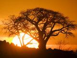 Silhouetted Baobab Trees, Kubu Island on Makgadikgadi Pan, Kalahari Desert, Botswana Fotografisk tryk af Paul Souders