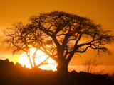 Silhouetted Baobab Trees, Kubu Island on Makgadikgadi Pan, Kalahari Desert, Botswana Photographic Print by Paul Souders
