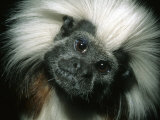 Cotton-Top Tamarin, Colombia Photographic Print by Kevin Schafer