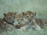 Lion Cubs Rest in Grass, Masai Mara Game Reserve, Kenya Photographic Print by Paul Souders