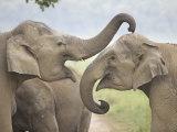 Elephants Play Fighting, Corbett National Park, Uttaranchal, India Photographic Print by Jagdeep Rajput