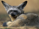 Bat Eared Fox Rests on Savanna, Masai Mara Game Reserve, Kenya Photographic Print by Paul Souders