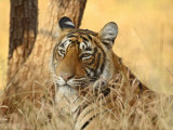 Portrait of Royal Bengal Tiger, Ranthambhor National Park, India Photographic Print by Jagdeep Rajput
