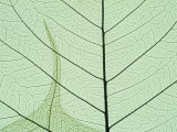 Peepal Leaf Detail, Popular Medicinal Plant, India Photographic Print by Kevin Schafer