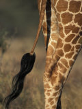 Reticulated Giraffe Tail, Samburu National Reserve, Kenya Photographic Print by Paul Souders