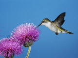 Ruby-Throated Hummingbird, Welder Wildlife Refuge, Sinton, Texas, USA Photographic Print by Rolf Nussbaumer