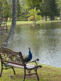 Peacock at the Smith Family Luau Garden Grounds, Kauai, Hawaii, USA Photographic Print by Savanah Stewart