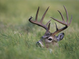 White-Tailed Deer, Choke Canyon State Park, Texas, USA Photographic Print by Rolf Nussbaumer