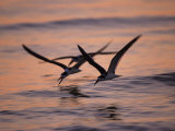 Black Skimmer, Fort Meyers, Florida, USA Reproduction photographique par Rolf Nussbaumer