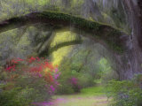 Moss-Laden Live Oak Tree, Magnolia Gardens, South Carolina, USA Photographic Print by Nancy Rotenberg