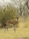 The Chinkara, Ranthambhor National Park, India Photographic Print by Jagdeep Rajput