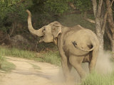 Elephant Communicating, Corbett National Park, Uttaranchal, India Photographic Print by Jagdeep Rajput