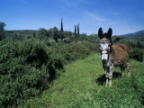 Domestic Donkey, Samos, Greece Photographic Print by Rolf Nussbaumer