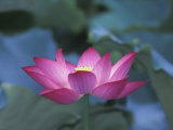 Red Lotus Flower, Hangzhou, Zhejiang Province, China Fotodruck von Keren Su