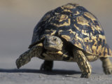 Leopard Tortoise, Savuti Marsh, Chobe National Park, Botswana Photographic Print by Paul Souders