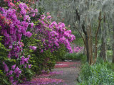 Blooming Azaleas on Middleton Plantation, South Carolina, USA Fotodruck von Nancy Rotenberg