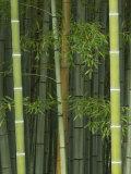 Bambloo Forest, Sagano, Arashiyama, Kyoto, Japan Photographic Print by Rob Tilley