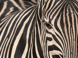 Tight Portrait of Plains Zebra, Khwai River, Moremi Game Reserve, Botswana Photographic Print by Paul Souders