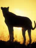 Sunrise Silhouettes Cheetah, Masai Mara Game Reserve, Kenya Photographic Print by Paul Souders