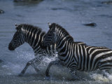 Plains Zebras Splash Through Mara River, Masai Mara Game Reserve, Kenya Photographic Print by Paul Souders