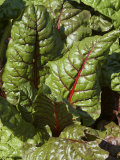 Swiss Chard, Tower Hill Botanical Garden, Boylston, Massachusetts,USA Photographic Print by Lisa S. Engelbrecht