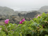 Beach Roses Along Marginal Way, Ogunquit, Maine, USA Photographic Print by Lisa S. Engelbrecht