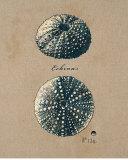 Vintage Linen Sea Urchin Posters by  Regina-Andrew Design
