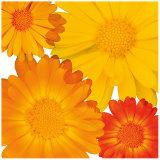 Citrus Blooms Poster by Susann & Frank Parker