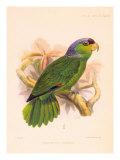 Joseph Smit Parrots Parrot Plate 34 Posters by  Porter Design