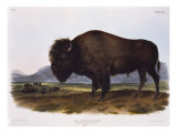 American Bison Giclee Print by  Porter Design