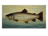 Brown Trout Giclee Print by  Porter Design
