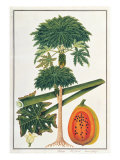 Papau or Caica Papaya Giclee Print by  Porter Design